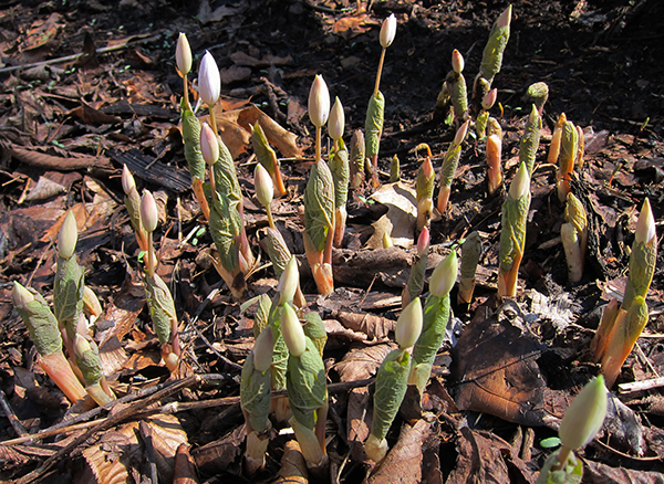 Blood Root Sprouts
